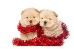 Cuccioli del chow-chow fotografia stock