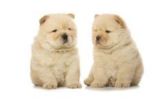 Cuccioli del chow-chow fotografia stock libera da diritti