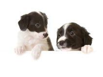 Cuccioli del collie di bordo con una scheda Immagine Stock