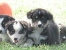 Cuccioli del Corgi fotografia stock