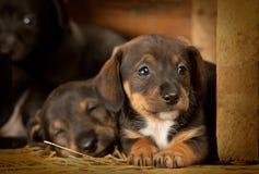 Cuccioli del Dachshund vecchio 3 settimane Immagine Stock