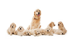 Cuccioli del documentalista dorato Immagine Stock
