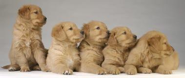 Cuccioli del documentalista dorato Fotografia Stock