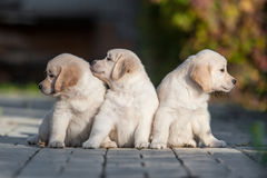 Cuccioli del golden retriever Immagine Stock