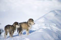 Cuccioli del husky Immagini Stock