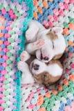 Cuccioli del Jack Russell immagine stock