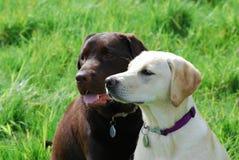 Cuccioli del Labrador Fotografie Stock