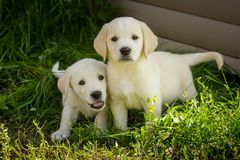 Cuccioli del labrador retriever Fotografie Stock