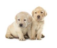 Cuccioli del labrador retriever immagine stock libera da diritti