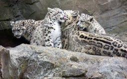 Cuccioli del leopardo delle nevi che si siedono con la madre Fotografia Stock Libera da Diritti