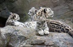 Cuccioli del leopardo delle nevi che si siedono con la madre Immagine Stock