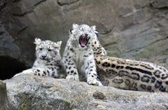 Cuccioli del leopardo delle nevi che si siedono con la madre Fotografia Stock