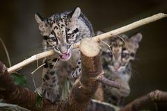 Cuccioli del leopardo nebuloso del bambino che giocano con il bastone Fotografie Stock Libere da Diritti