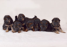 Cuccioli del pastore tedesco di 1 mese Fotografia Stock Libera da Diritti