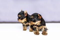 Cuccioli del ritratto due dell'Yorkshire terrier Immagine Stock Libera da Diritti