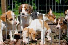 Cuccioli del segugio dei cervi Fotografie Stock