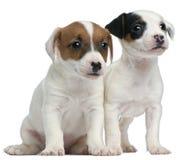 Cuccioli del Terrier del Jack Russell, vecchio 7 settimane fotografia stock libera da diritti