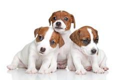Cuccioli del terrier di Jack Russell Immagine Stock