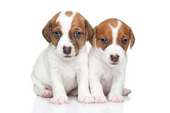Cuccioli del terrier di Jack Russell Fotografie Stock Libere da Diritti