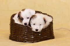 Cuccioli del terrier di Jack Russell Fotografia Stock Libera da Diritti