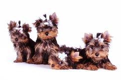 Cuccioli del terrier di Yorkshire Fotografia Stock