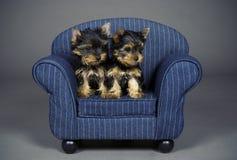 Cuccioli del terrier di Yorkshire Immagini Stock