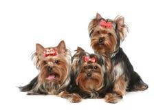 Cuccioli del Terrier di Yorkshire Immagini Stock Libere da Diritti