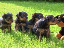 Cuccioli del Terrier di Yorkshire fotografia stock libera da diritti