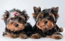 Cuccioli del terrier di Yorkshire Fotografie Stock Libere da Diritti