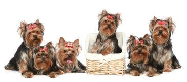 Cuccioli del Terrier di Yorkshire su una priorità bassa bianca Fotografia Stock