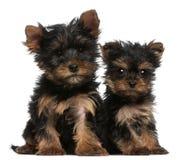 Cuccioli del Terrier di Yorkshire, vecchio 8 settimane Fotografia Stock Libera da Diritti