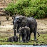 Cuccioli dell'elefante Fotografia Stock