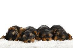 Cuccioli dell'Yorkshire terrier Fotografia Stock Libera da Diritti