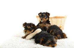 Cuccioli dell'Yorkshire terrier Immagini Stock