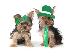 Cuccioli dell'Yorkshire terrier che celebrano giorno di Patricks del san Fotografie Stock