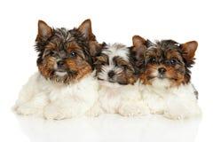 Cuccioli dell'Yorkshire terrier di Biewer Immagini Stock Libere da Diritti