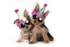 Cuccioli dell'Yorkshire terrier di tema di compleanno su bianco Fotografie Stock Libere da Diritti