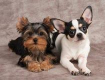 Cuccioli dell'Yorkshire terrier e chihuahua Immagini Stock