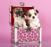 Cuccioli della chihuahua Fotografie Stock Libere da Diritti