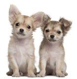 Cuccioli della chihuahua, 3 mesi, sedentesi Immagini Stock