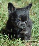 Cuccioli 161 della chihuahua Fotografia Stock Libera da Diritti
