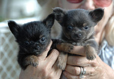 Cuccioli 164 della chihuahua Immagini Stock Libere da Diritti