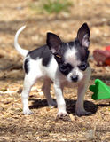 Cuccioli 194 della chihuahua Immagini Stock Libere da Diritti