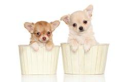Cuccioli della chihuahua Immagini Stock Libere da Diritti