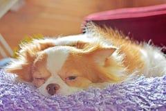 Cuccioli della chihuahua Immagine Stock Libera da Diritti
