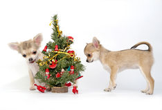 Cuccioli della chihuahua che decorano un albero di Natale Fotografie Stock Libere da Diritti