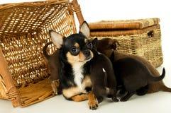 Cuccioli della chihuahua della madre per i canestri del fondo Immagini Stock