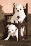 Cuccioli della chihuahua in presidenza miniatura Fotografie Stock Libere da Diritti