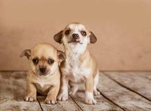 Cuccioli della chihuahua su un fondo di legno Immagini Stock Libere da Diritti