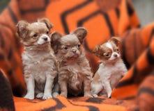 Cuccioli della chihuahua sulla spiaggia Fotografie Stock Libere da Diritti